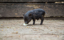 Small pigs in the farm. Curious little piglet on a farm looking at the camera royalty free stock photography