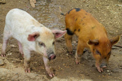Small pigs on farm Royalty Free Stock Image