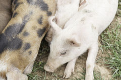 Small pigs on a farm Stock Images