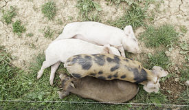 Small pigs on a farm Royalty Free Stock Photo