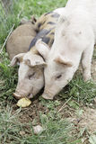 Small pigs on a farm Stock Photos