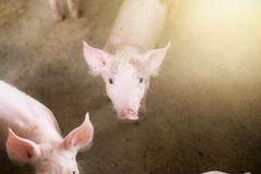 Small pigs at the farm,swine in the stall. Stock Photos