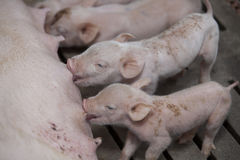 Small pigs in the farm Royalty Free Stock Photography