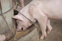Small pigs in the farm Royalty Free Stock Photo