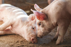 Small pigs in farm Royalty Free Stock Image