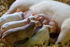 Small pigs Stock Photography