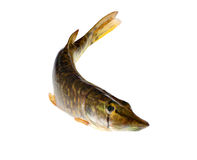 Small pike on white Royalty Free Stock Image