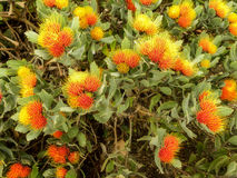 Small Pin Cushion Protea 7 Stock Images