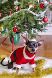 Small pincher in Xmas clothes Stock Photo