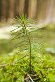 Small pine. Royalty Free Stock Photo