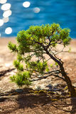 Small pine Stock Photo
