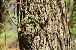 Squirrel`s reserves. A small pine cone in the hollow of the tree Stock Photos
