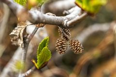 Small pine cones on the branch. Close up image stock photo