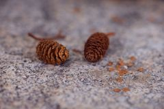Small pine cones Royalty Free Stock Photography