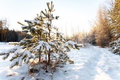 Small pine covered with snow on the shore of forest lake Stock Images