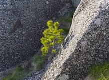 A small pine in the crevice of a granite rock. Karelia, Russia. Sunny day in June Stock Photos