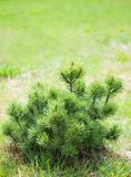 Small pine on green background. Stock Photos