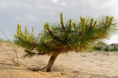 Small pine grows in the sandy place stock photo