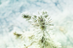 Small pine with hoarfrost in winter forest. Royalty Free Stock Image