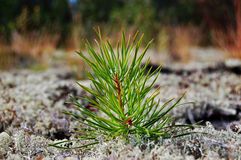 Small pine. Largely small pine in the afternoon Stock Photography