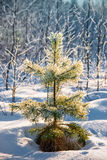 Small pine powder with snow Stock Image