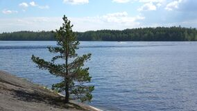 A small pine on a rock against the background of lake Saimaa. Summer in Finland. A small pine on a rock against the background of lake Saimaa. Finland stock footage