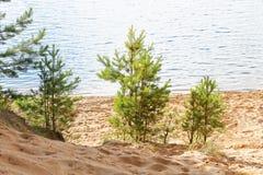 Small pine on the sandy beach Stock Photos