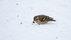 Small Pine Siskin finds and eats a sunflower seed as it searches for seed. Small Pine Siskin finds and eats a sunflower seed showing its streaky patterns and Royalty Free Stock Photography