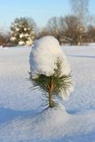 Small pine with snow cap. Cap of snow on top of small pine tree in frosty winter day stock image