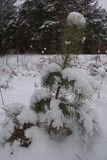 Small pine in the snow. A small tree with snow on branches. Winter Stock Images