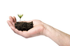 Small pine sprout in hand Royalty Free Stock Photo