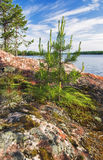Small pine at stony shore of Ladoga lake Stock Photo
