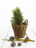 Small Pine Tree Royalty Free Stock Images