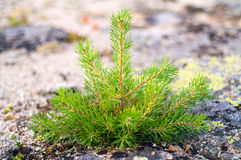 Small pine tree. Is groing on the stone Royalty Free Stock Photos