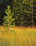 Small Pine Tree. A small pine tree growing in a grassy meadow on the edge of an older pine forest Royalty Free Stock Photos