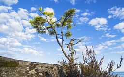 A small pine tree against the background of the summer sky. The shore of Ladoga Lake, Karelia, Russia. Sunny day in June Stock Photography