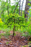Small pine tree begins to grow. In the woods Stock Photos