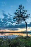 A small pine tree in the bog. A small pine tree stands in the bog at the lake in sunset light royalty free stock photo