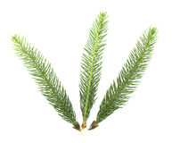 Small pine tree branches Stock Photos