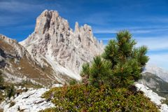 Small pine tree and Cima Ambrizola and Clroda da Lago. Small pine tree and stone and Cima Ambrizola and Clroda da Lago, Italien dolomites Stock Photo