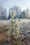 A small pine tree covered with frost. Royalty Free Stock Image
