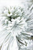 Small pine tree covered with snow Royalty Free Stock Photography
