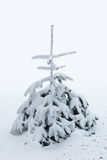Small pine tree covered in snow Stock Photo