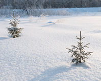 Small pine tree. Covered with snow Royalty Free Stock Image