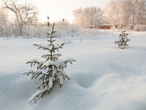 Small pine tree. Covered with snow Stock Photography
