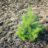 Small pine tree. Evergreen plant sapling. Small pine tree on the sand. Evergreen plant about three years old. Aged photo. Kenozersky National Park (UNESCO Royalty Free Stock Photography