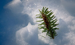Small pine tree in the frozen snow Stock Image