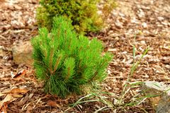 Small pine Stock Images