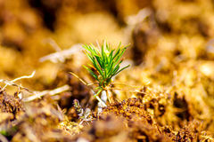 Small pine tree. Growing in bog Royalty Free Stock Images