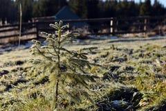 Small pine tree Stock Photography